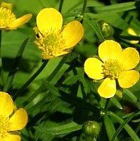 Ranunculus-auricomus
